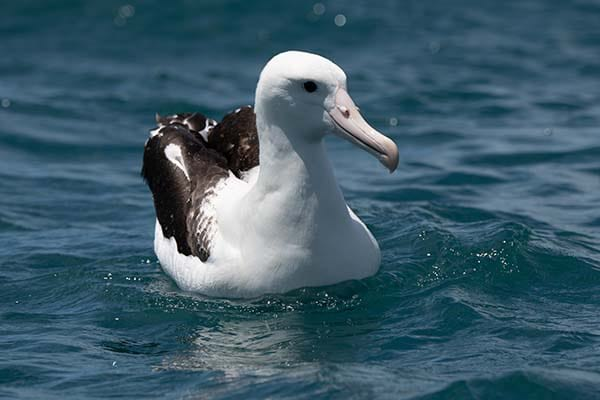 Albatross in seabirds list.