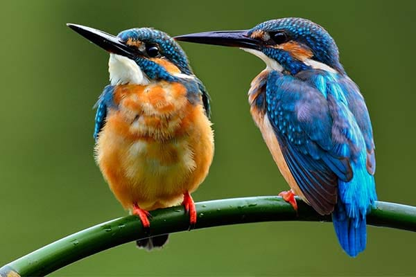 Beautiful common kingfisher bird picture