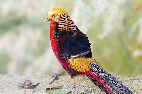 Most beautiful golden pheasant bird in the world
