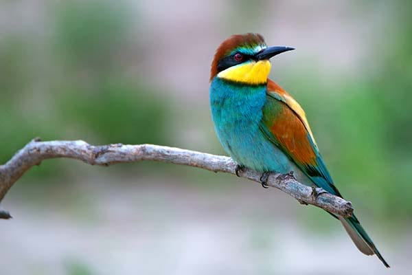Beautiful flying green bee-eater bird.