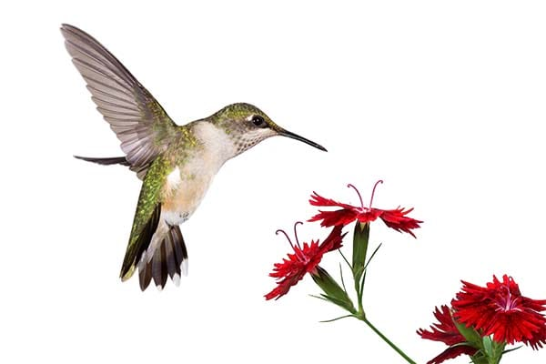 Very beautiful humming birds.