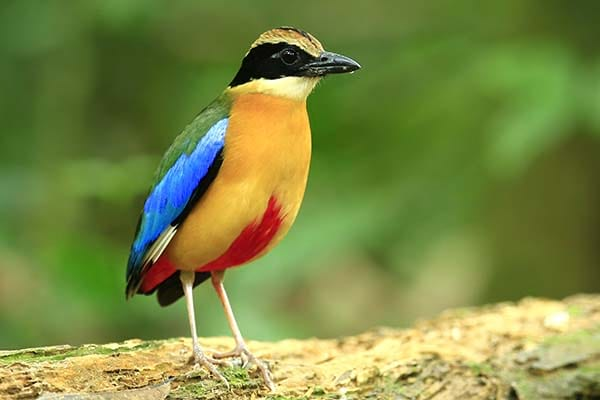 Indian pitta is beautiful bird in India.