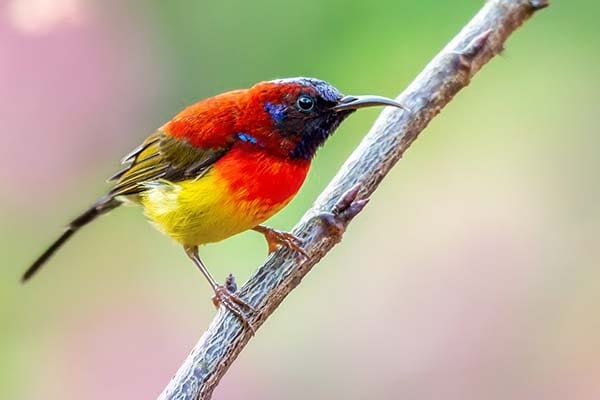 Beautiful small flying Mrs gould's sunbird bird
