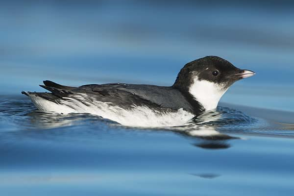 Small seabirds are Murrelets.