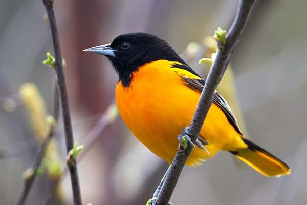 Very beautiful northern oriole bird