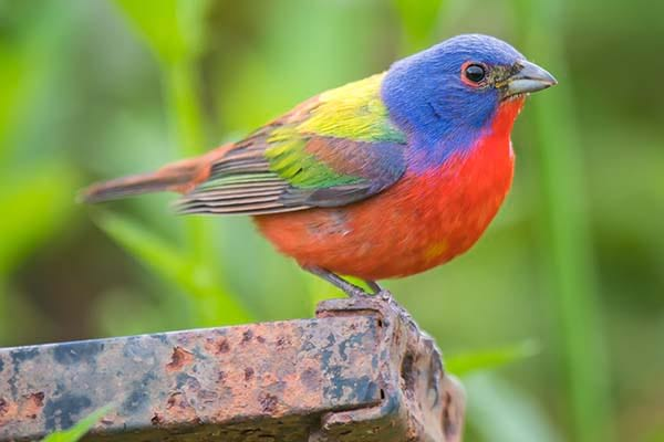 Very beautiful painted bunting bird.