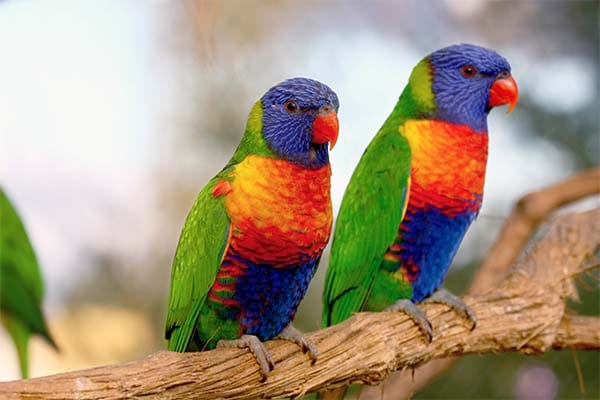 Beautiful parrot specie is rainbow lorikeet.