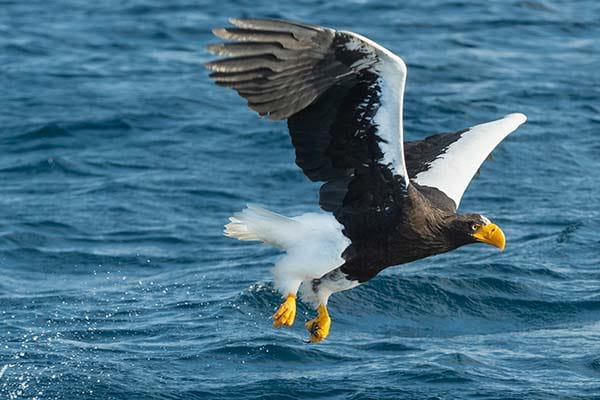 Large sea bird sea eagle