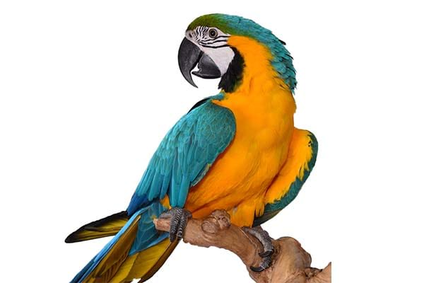 Big talking birds Blue and Yellow Macaw.