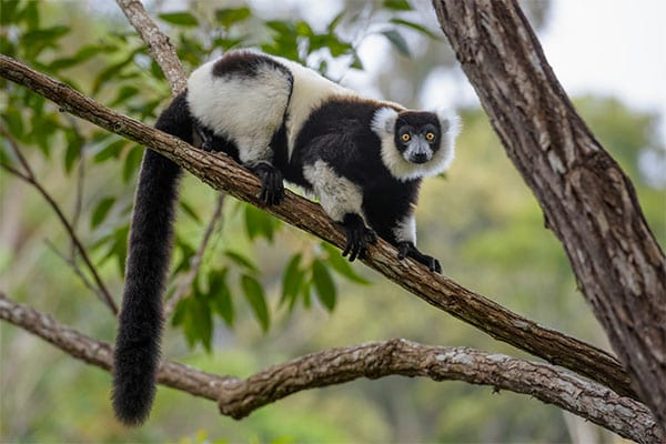 Critically endagered black and white ruffed lemur in Madagascar rain forest