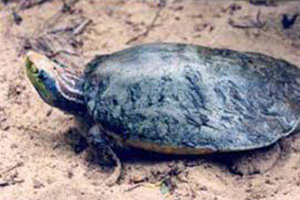 Critically Endangered Bengal Roof Turtle