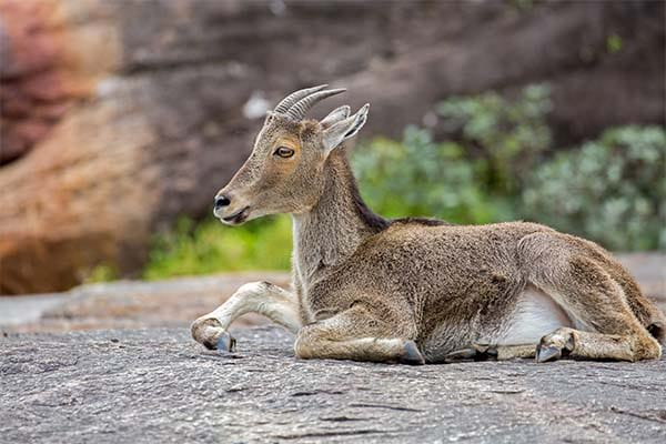 Endangered Animals In India With Name