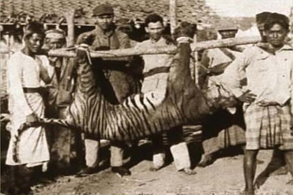 Extinct Bali Tiger
