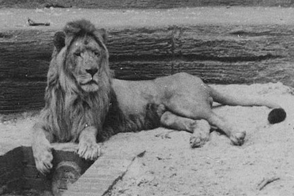 Extinct Barbary Lion