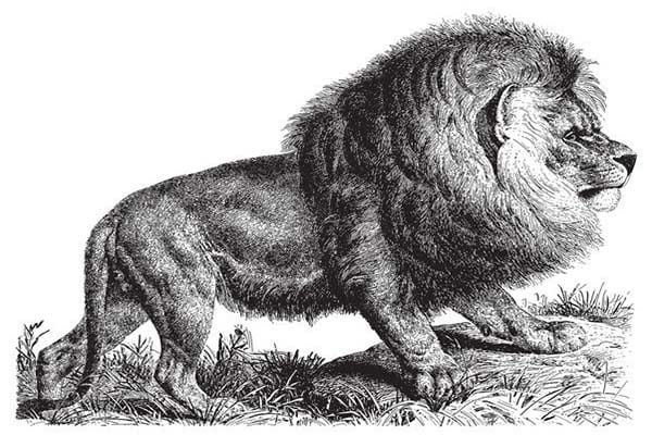 Extinct Cape Lion