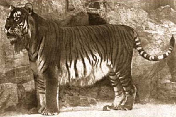 Extinct Caspian Tiger