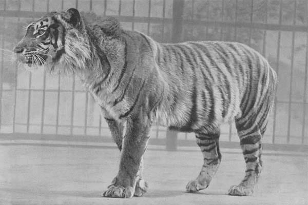 Extinct Tigers In The World