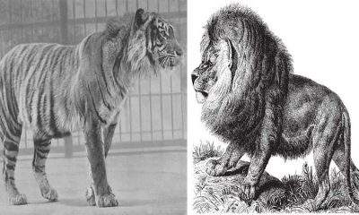 List of Extinct Tigers and Lions
