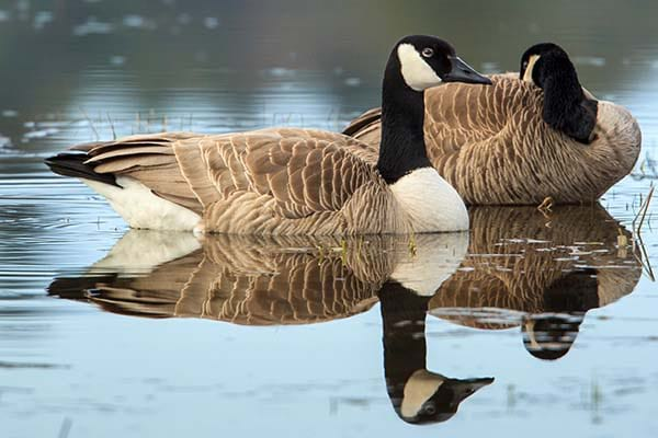 Different Types of Water Birds Geese
