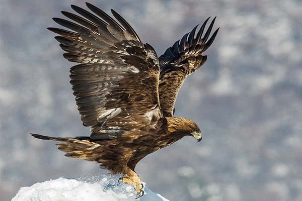 List of Birds That Can Fly High Golden Eagle