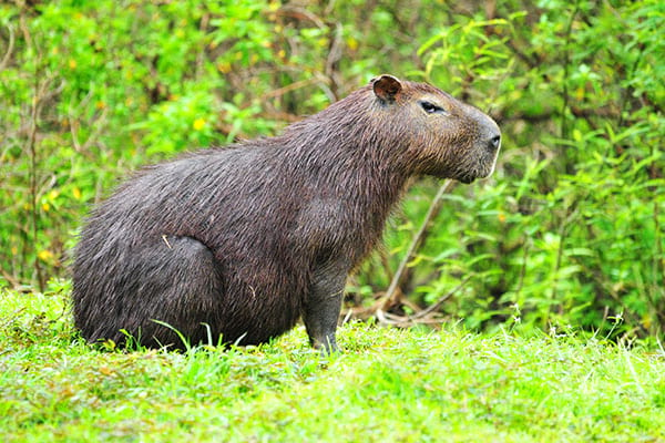 Large Capybara in the rain forest near Chagres river in near the Panama Canal