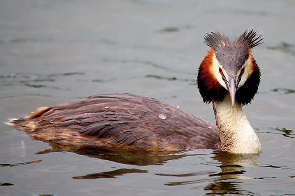 Migratory Great Crested Grebe birds
