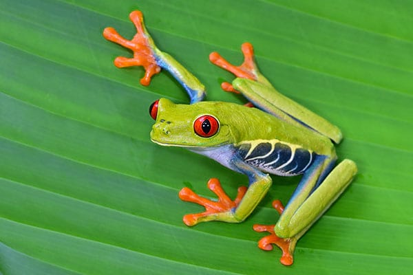 Red eyed tree frog in tropical rainforests in Central America