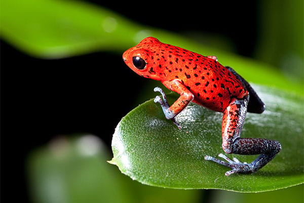 Red strawberry poison dart frog in tropical rainforest