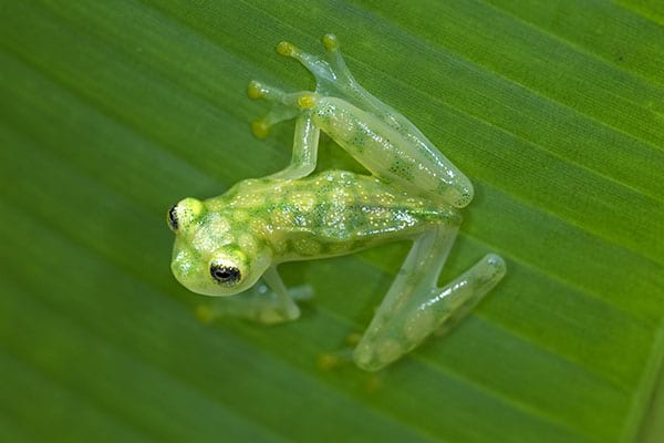 Reticulated glass frog in tropical jungle rainforest