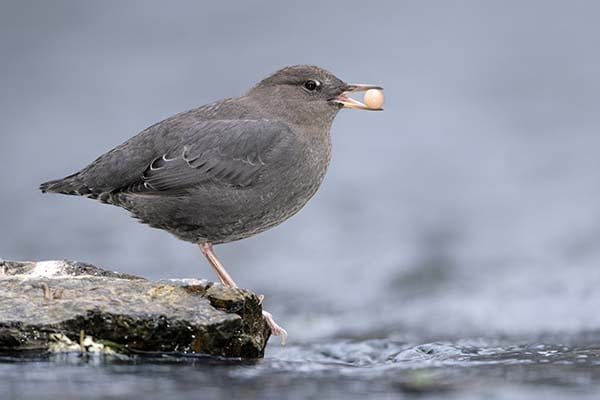 Small size American Dipper water birds