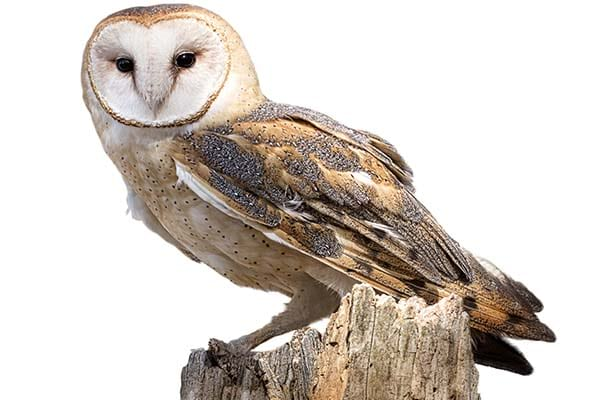 Medium sized Barn Owl wild life bird