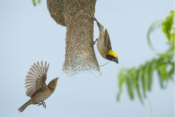 Small Baya Weaver wild bird