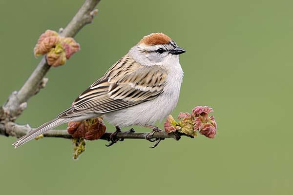 Small Chipping Sparrow wild bird