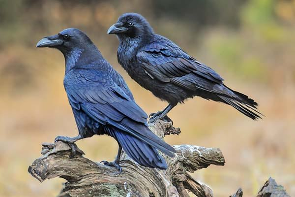 Large Common Raven wild bird