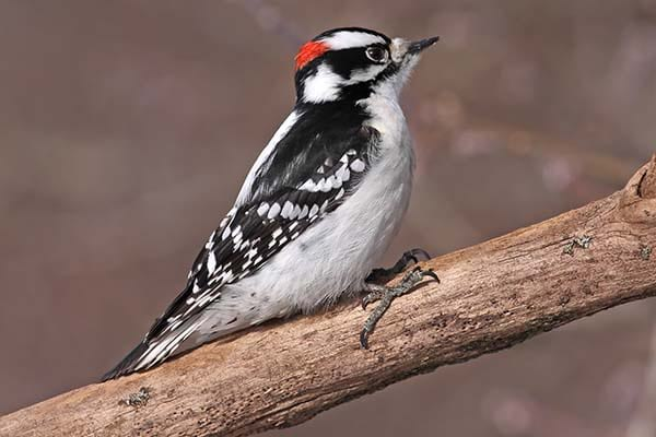 Wild life Downey Woodpecker bird