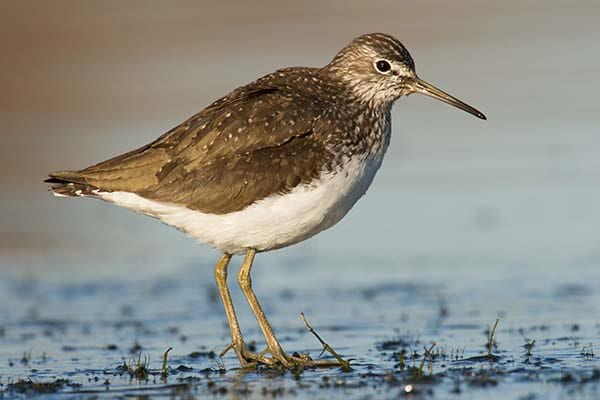 Medium sized Green Sandpiper wild bird