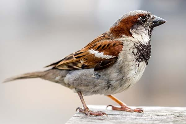 Small House Sparrow wild bird