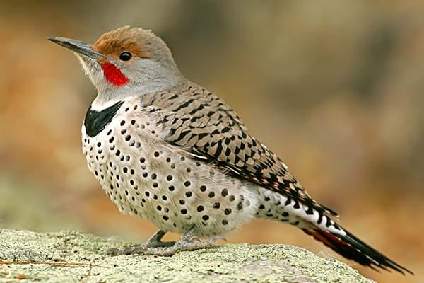 Wild bird Northern Flicker
