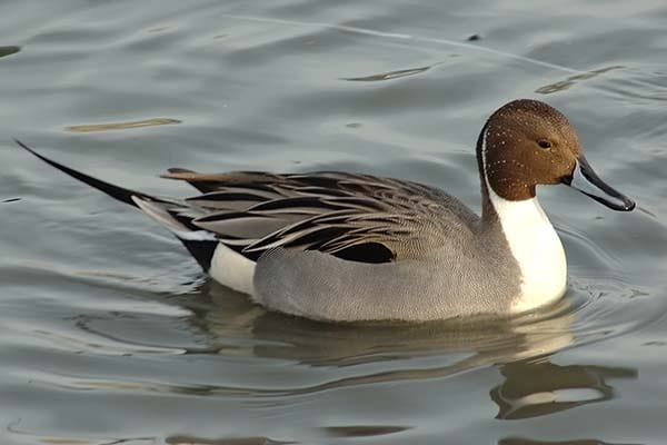 Large Northern Pintails wild life bird