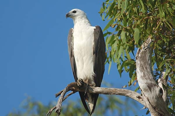 Large White Bellied Sea Eagle wild bird