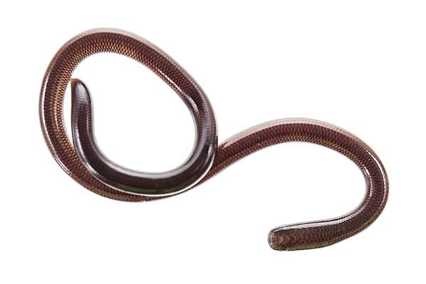 Types of Small Snakes Barbados Thread Snake