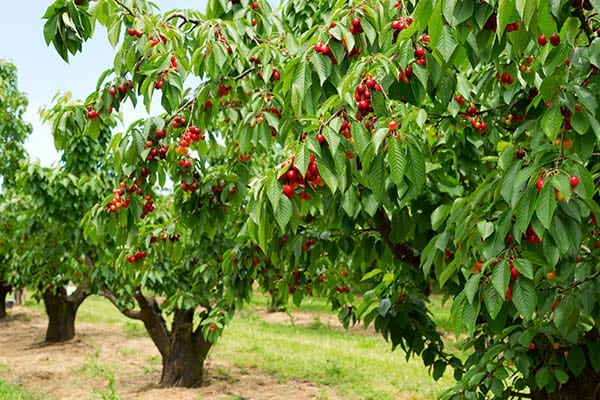 Different Types Of Fruit Trees