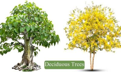 Deciduous trees list