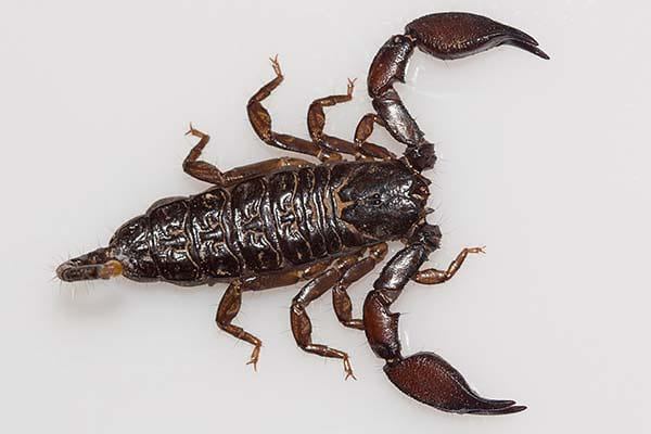 Types of poisonous scorpions Dwarf Wood Scorpion