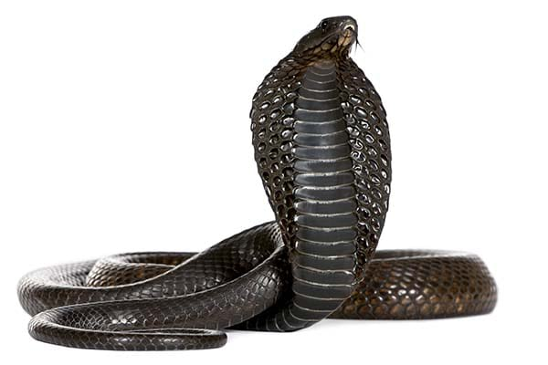 Different Types of Snakes In the World Egyptian Cobra