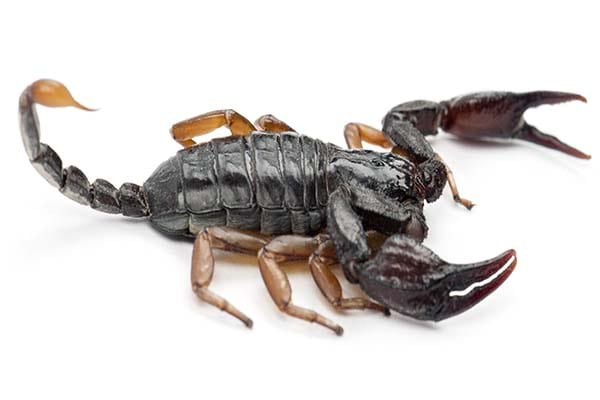 Different types of scorpions European Yellow Tailed Scorpion