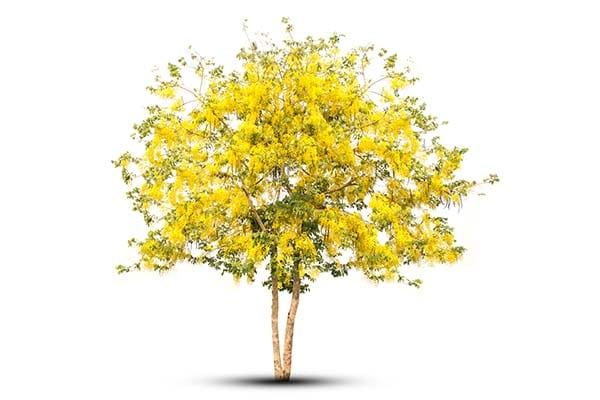 Small Deciduous Trees Golden Shower tree