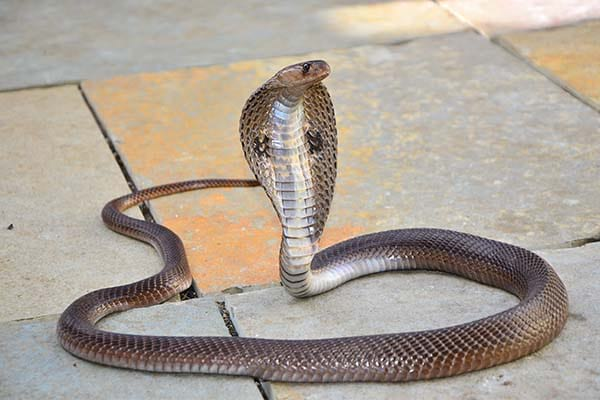 Types of Snakes in India - Indian Cobra
