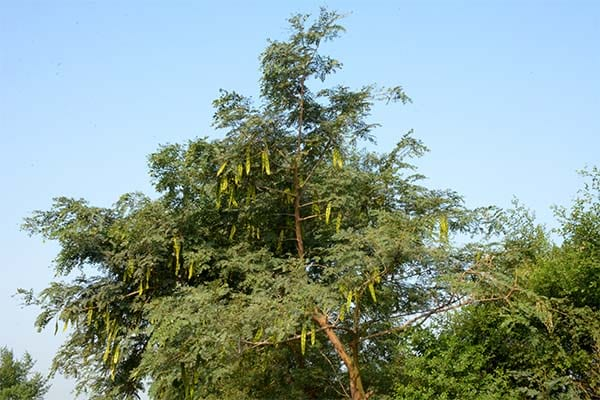 Tall Deciduous Trees North Indian Rosewood