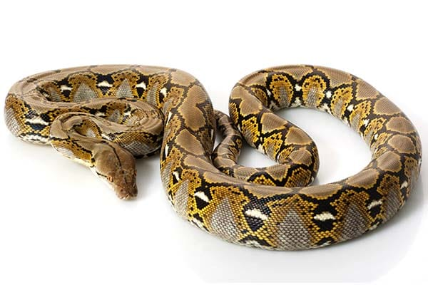 Types of Non-Poisonous Snakes Reticulated Python